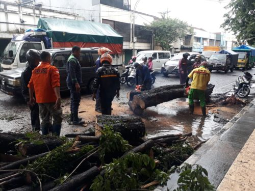 Pohon di Kota Malang Rawan Tumbang, Pak Guru jadi Korban