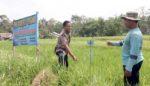 Kesulitan Pupuk Bersubsidi, Petani Kencong Kembangkan Padi Organik