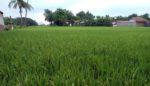 Berharap Hasil Pertanian Melimpah