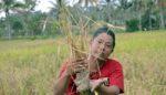 Kekurangan Air, Padi Petani di Arjasa – Jember Alami Kekeringan
