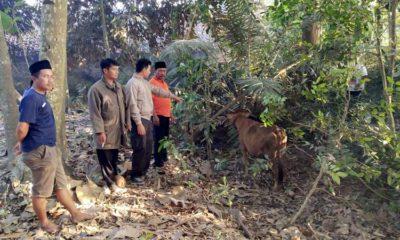 Kades Purwoasri dan warga saat menemukan sapi ke dekat pohon salak di pekarangan warga. (yud)