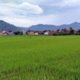 Pupuk Subsidi Dipangkas 49%, Pengaruhi MT2 Petani di Trenggalek