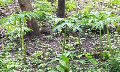 Tanaman Porang menjadi Primadona Baru Bisnis di Kawasan Hutan Situbondo